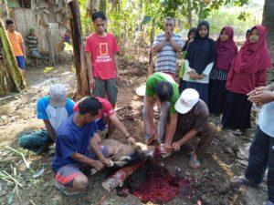 proses penyembelihan hewan kurban di LKSA PARS